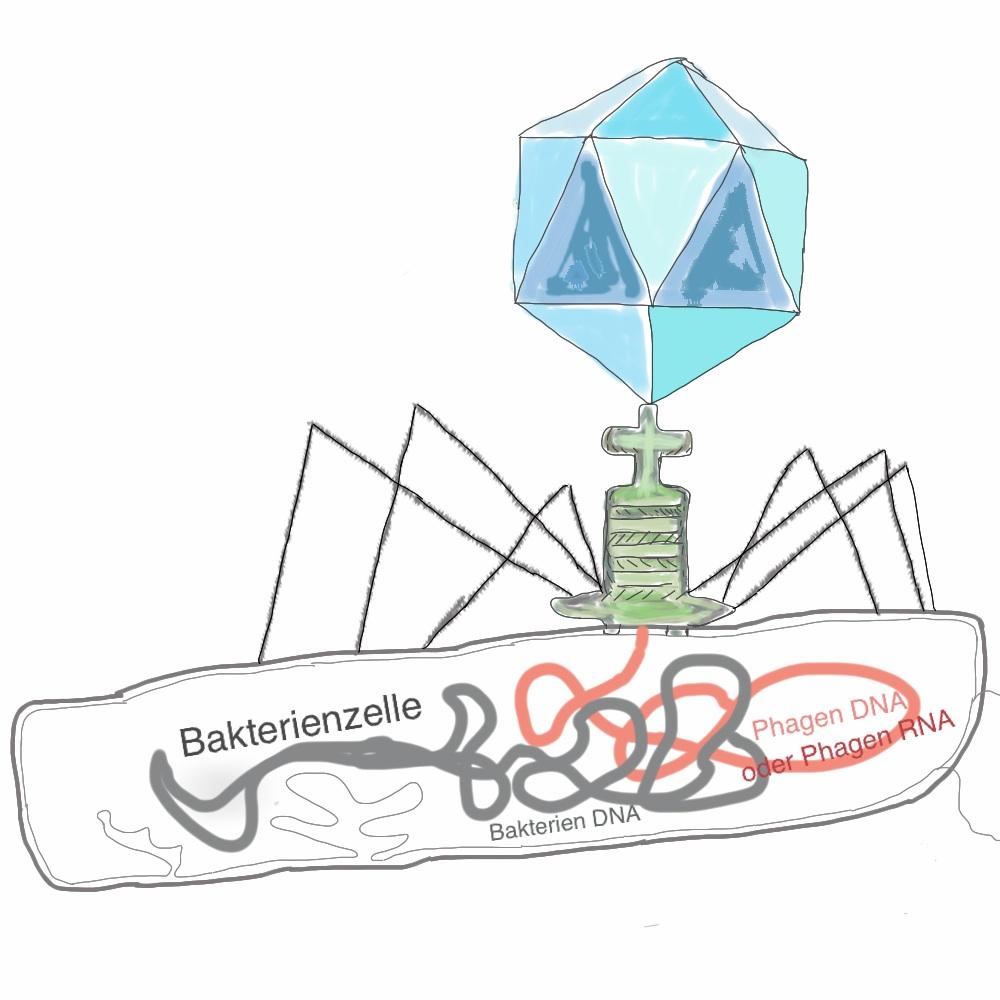 Ein Phage injiziert sein Genom aus DNA oder RNA in eine Bakterienzelle. (Im Verhältnis ist die Bakterienzelle um einiges grösser als dargestellt)