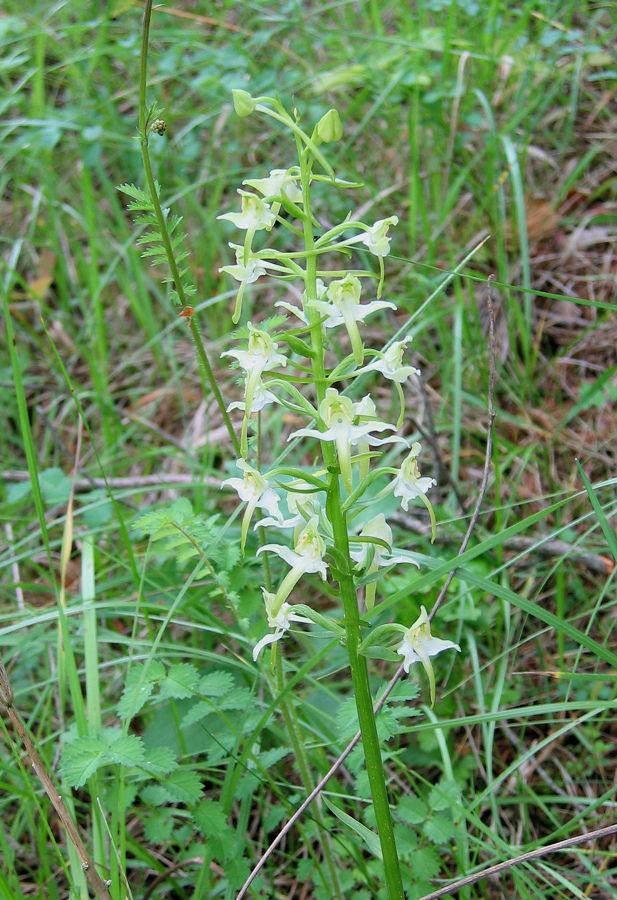 Platanthera bifolia Zweiblättrige Waldhyazinthe